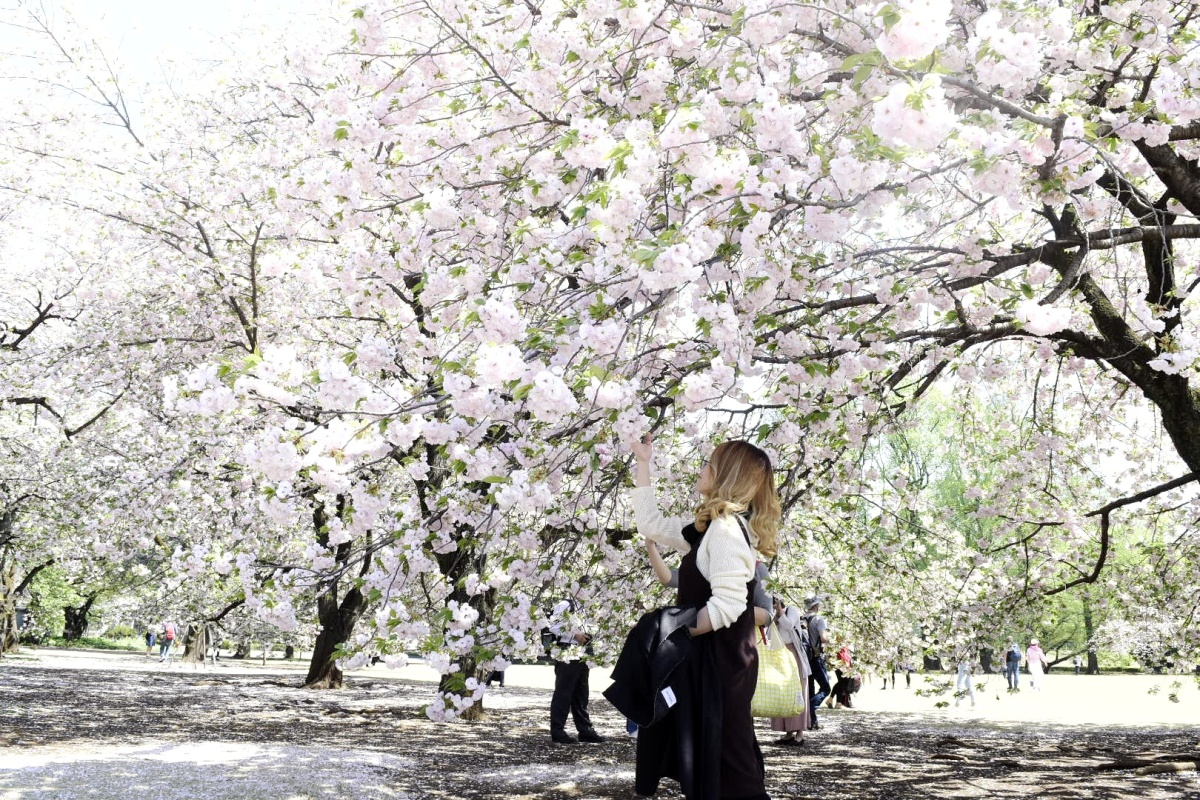 Shinjuku Gyoen: Home of Late-blooming Sakura